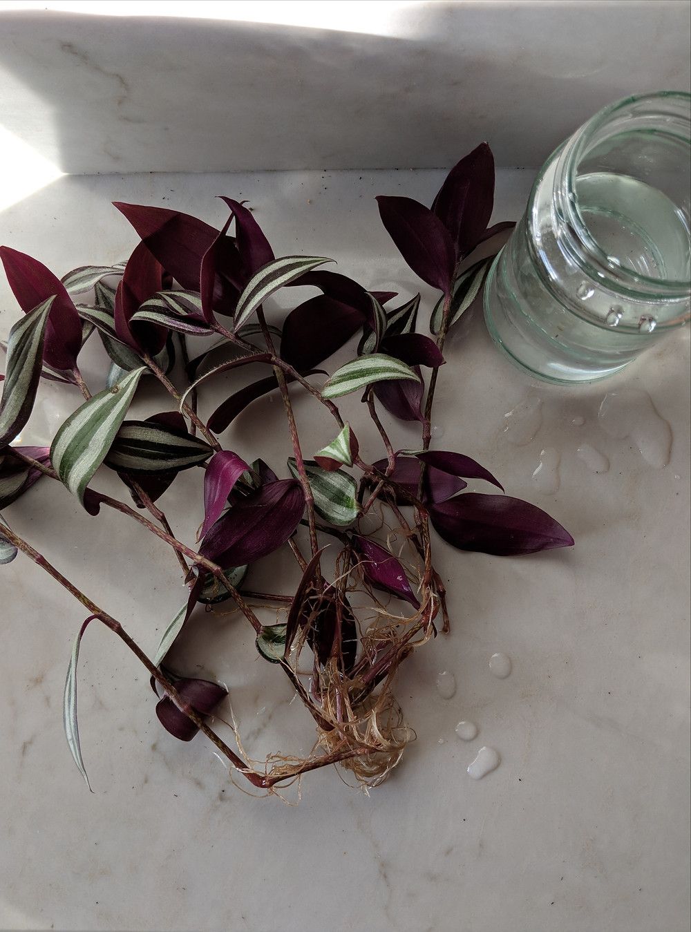 Several tradescantia plant cuttings sit on a kitchen counter next to a jar of water. They have long roots and there are drips on water on the counter surface.
