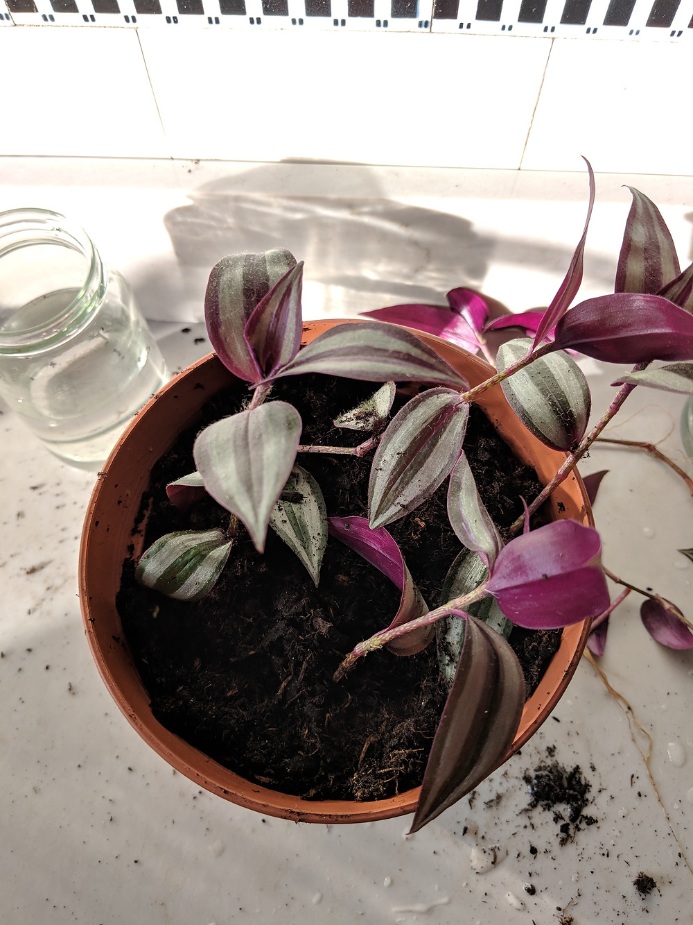 Potted tradescantia cuttings from above. There is spilt soil on the countertopu