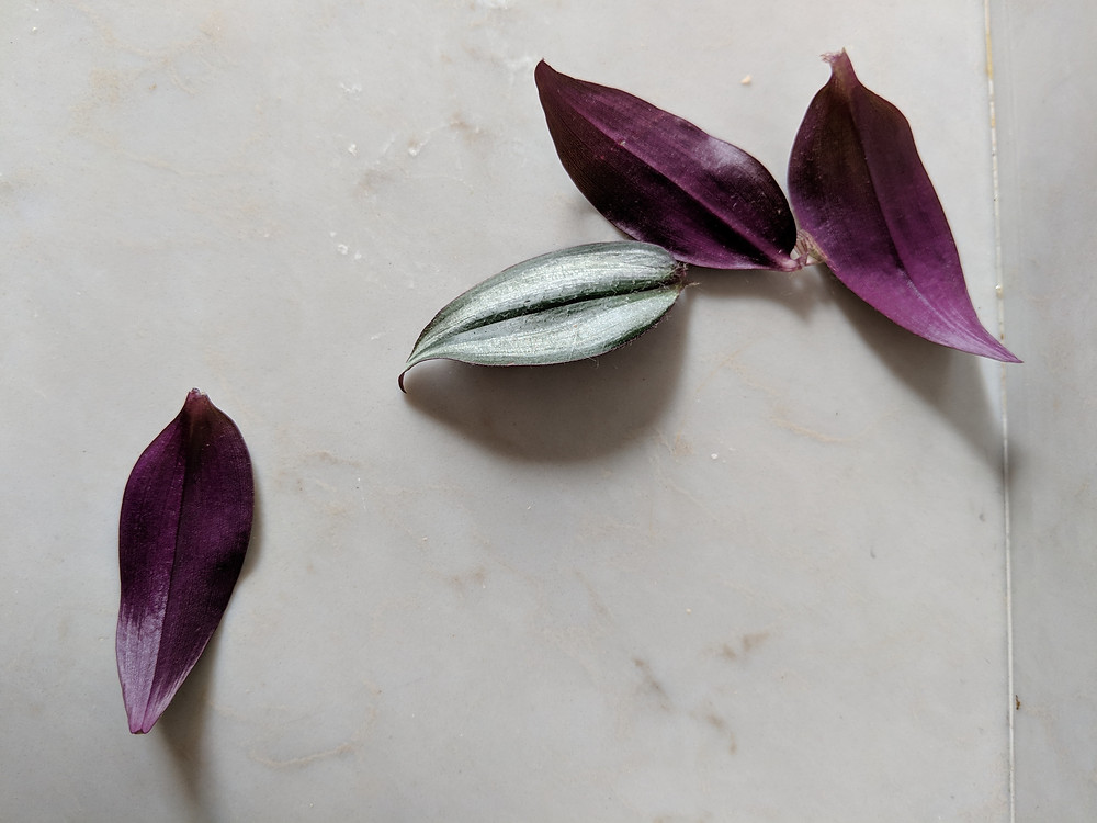 4 purple and green Tradescantia leaves lie on a white stone composite kitchen counter.