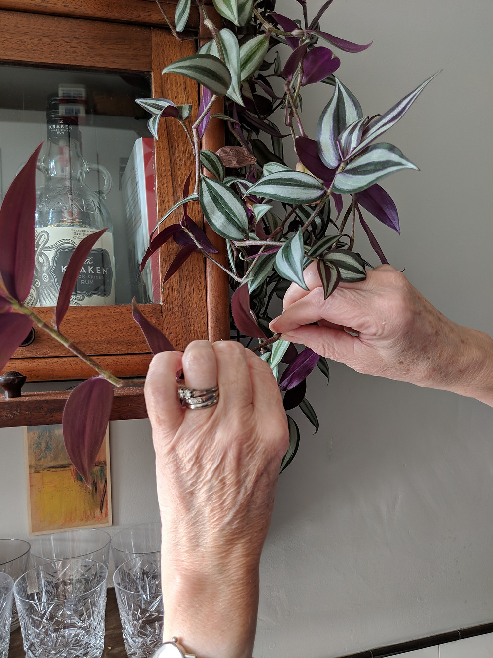 A woman's hands are shown breaking off cuttings from a purple and green Tradescantia house plant.