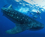 Swim-with-the-whalesharks-2.jpg