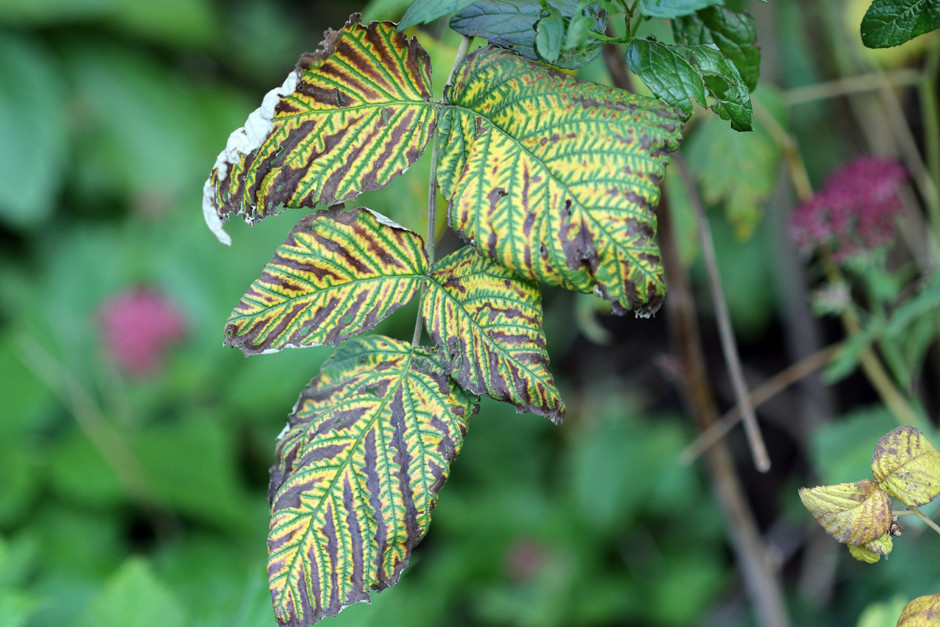 Blackberry leaves gone stripy during Autumn.