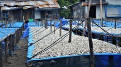 usine de sechage de poisson