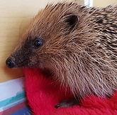hedgehog william 1.jpg