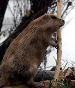 Découverte des castors sur la Loire