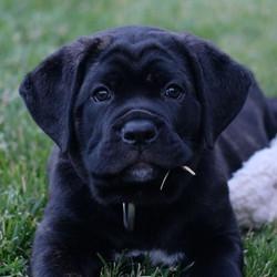 Slater x Nasa Brindle Dog Front