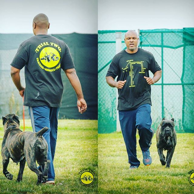 Team Cali's BH from the ACWDC Trial 2 - Photo's credited to _nasadog_#italianmastiff #trainhardorgoh