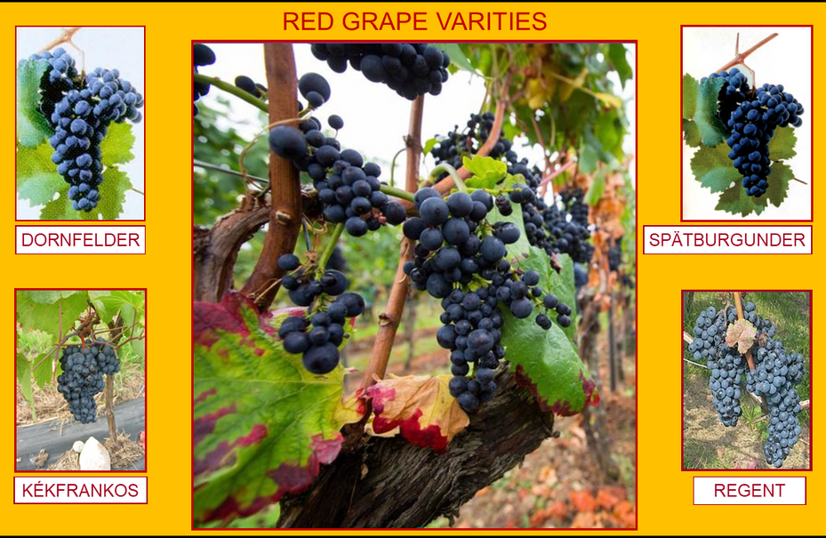 105_RED GRAPE VARIETY (33).png