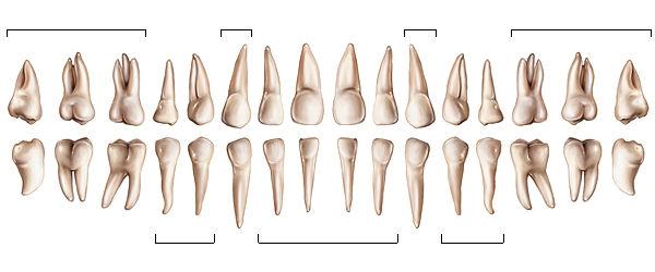 schéma arcade dentaire adulte