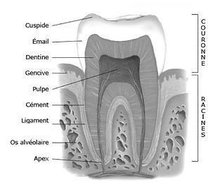 Schéma d'une dent