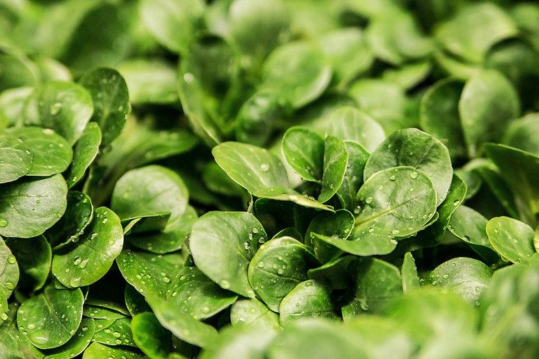 lettuce-264826_edited.jpg