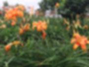 台灣NO.1藝種金針3.jpg