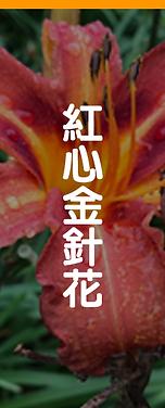 01-紅心金針花.png
