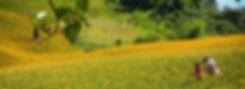 金針花.jpg