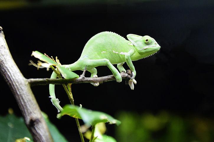 chameleon-1385578_1920.jpg