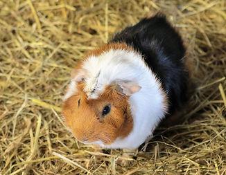 guinea-pig-1711285_1920.jpg