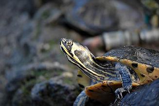 turtles-4745260_1920.jpg