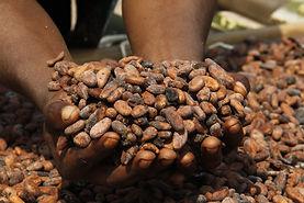 Cocoa - CANN - Coopérative Agricole Nzr