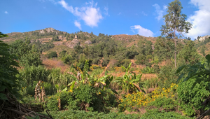Bananas and marigolds adjacent to the coffee contrast with deforested area at the top of the mountain