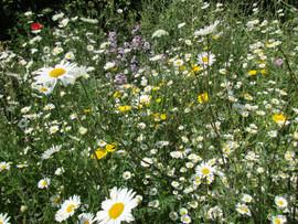 Begbie Wildflower Meadow 2020 12.jpg