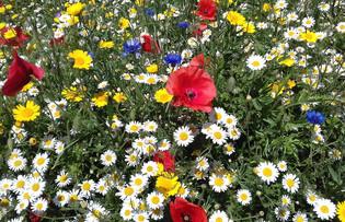 Begbie Wildflower Meadow 2019 23.jpg