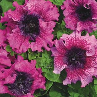 Petunia Superbissima Dark Purple