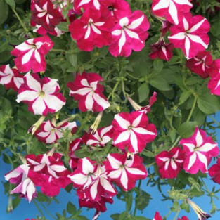Petunia Pendula Avalanche Purple Red Star