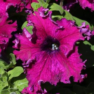 Petunia Hybrida Aphrodite Purple
