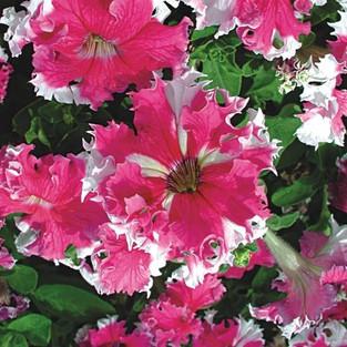 Petunia hybrida Karkulka