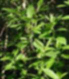 Twinberry.jpg