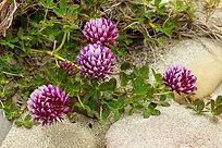 Trifolium wormskioldii.jpg