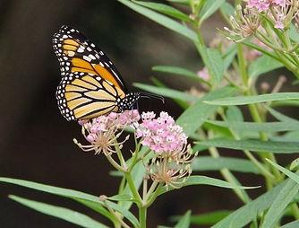 Narrow-leaf and Monarch.jpg