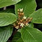 cascara flowers.jpg