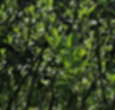 hookers willow.jpg