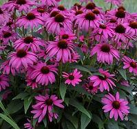 Echinacea patch.jpg