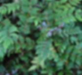 Low-Oregon-Grape.jpg