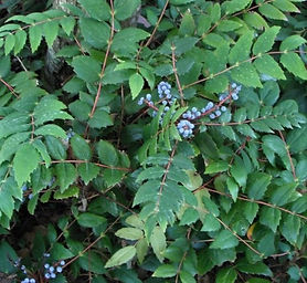 Low-Oregon-Grape.jpg