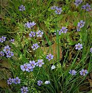 blue-eyed grass.jpg