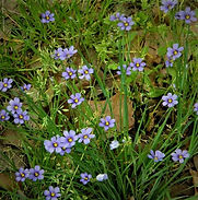 blue-eyed grass.jpg