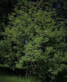 Cascara tree.jpg