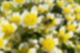 mason-bee-meadowfoam-solaebeez.jpg