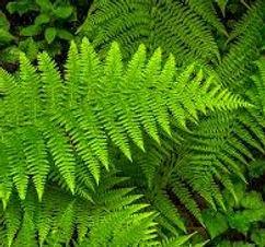 Lady fern.jpg