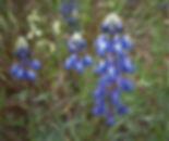 lupine-bicolor.jpg