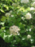 Ninebark.jpg