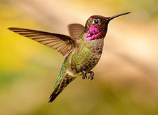 annas-hummingbird_adult-male.jpg