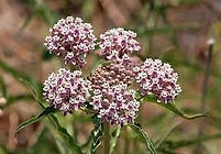 narrow leaf milkweed.jpg