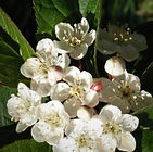Malus-fusca-flowers.jpg