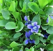 1-Early Blue Violet_web.jpg