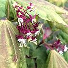 Vine maple flower-crop_5-17.jpg