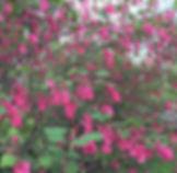 Red flowering currant.jpg